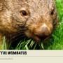 fattus-wombatus