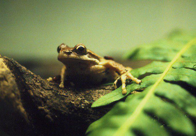 ewingi tree frog