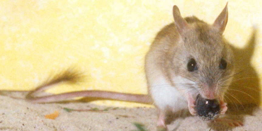 Spnifex Hopping Mouse